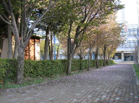 桜散る-2.jpg