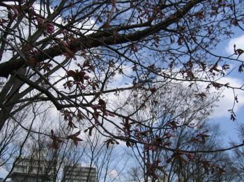 2分咲きの桜ーIMG0001.JPG