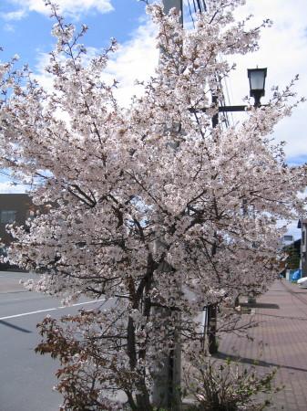 3条20丁目に咲く桜ー.jpg