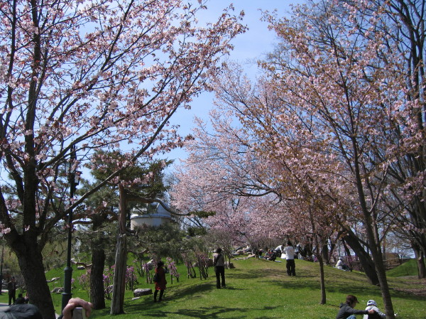 天文台横の桜IMG0001.JPG